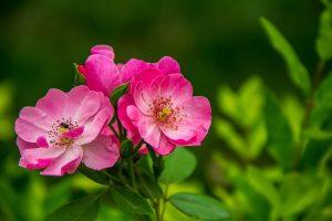rose-526543__480