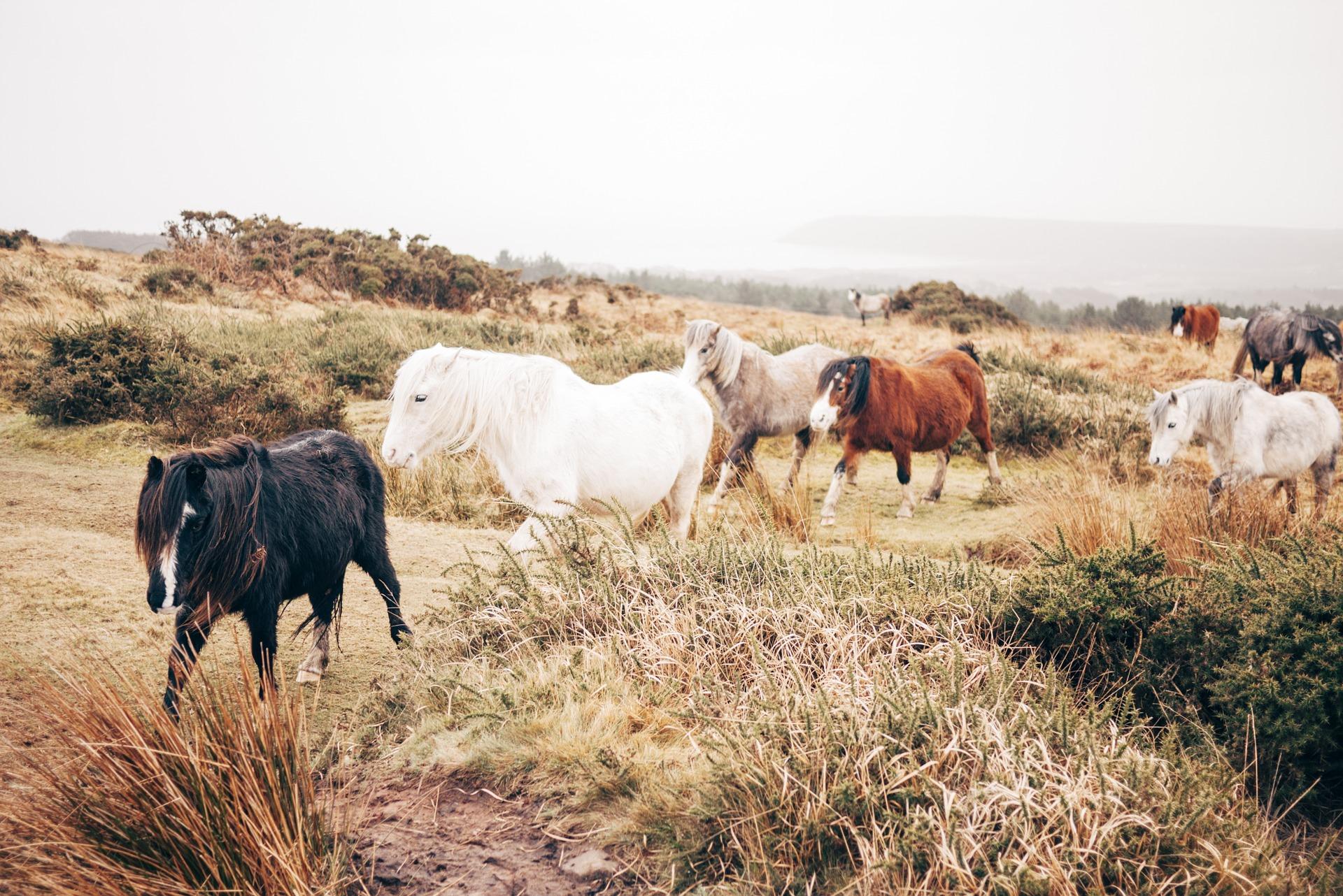 horses-1149922_1920