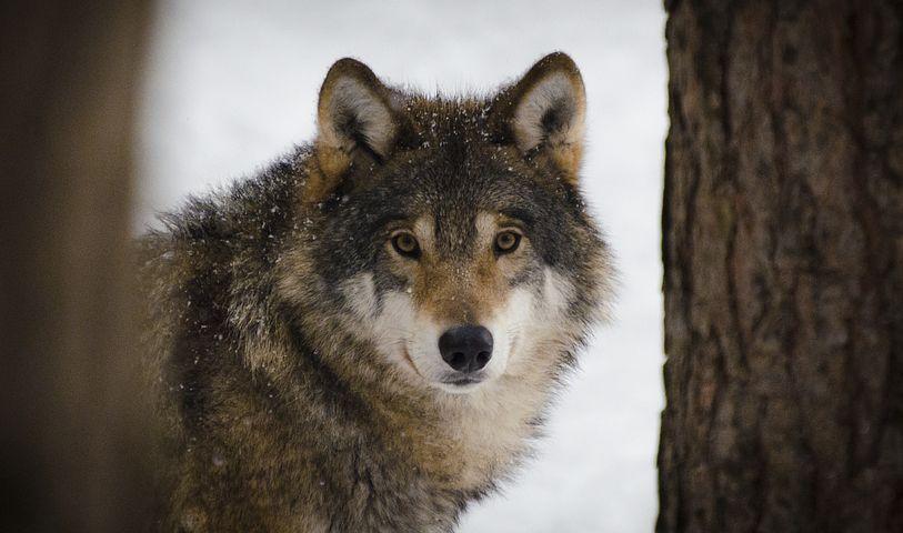 wolf-2106894__480